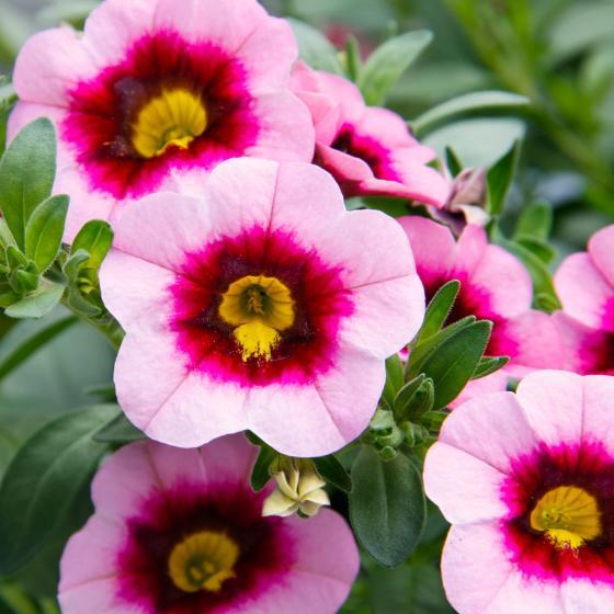 Apfelblüten Zauberglöckchen Minifamous Pink Dark Eye | #2