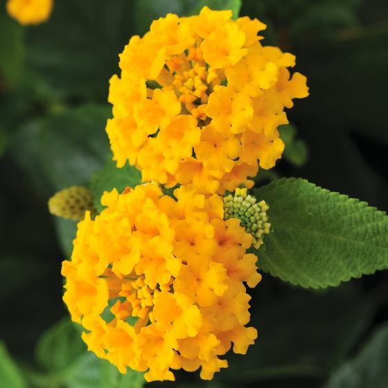Gelbes Wandelröschen | #2