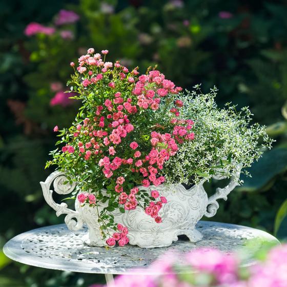 Mini-Rose Lilly Rose™ WONDER5, im ca. 12 cm-Topf | #2