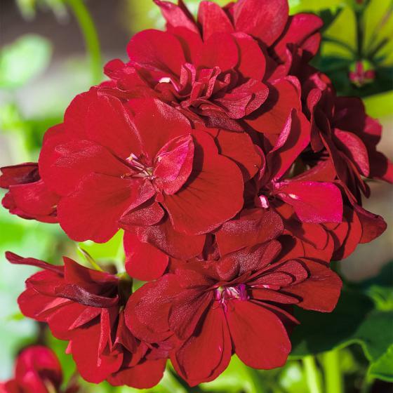 Dunkelrote Hänge-Geranie Royal Dark Red, im ca. 12 cm-Topf | #2