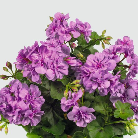 Violette Hänge-Geranie  Amelit | #2