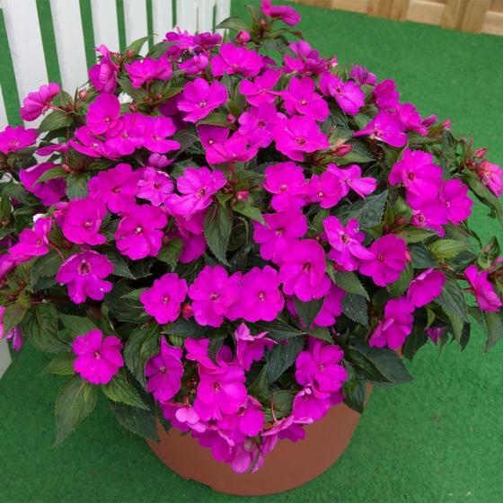 Purple Fleißiges-Lieschen Sunpation Purple   #2