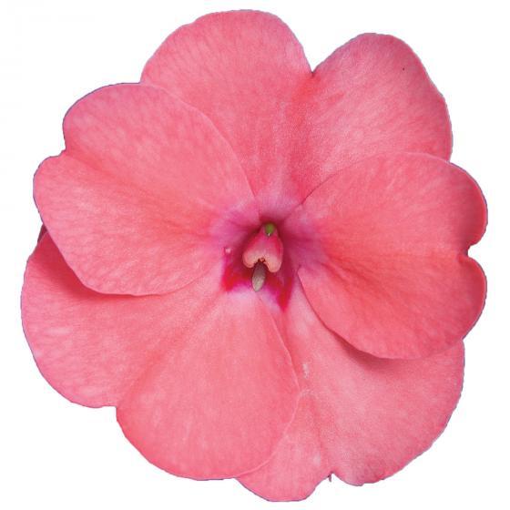 Rosa Fleißiges-Lieschen Sunpation Salomon | #2