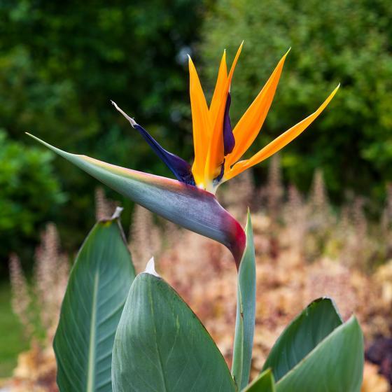Paradiesvogelblume Strelizie, im ca. 15 cm-Topf | #2