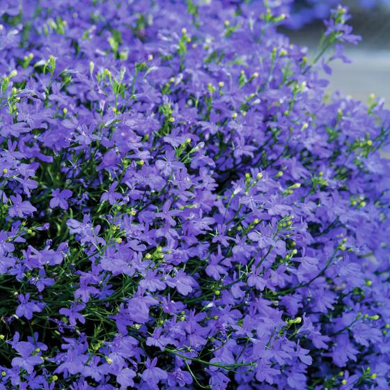 Blaues Männertreu, im ca. 11 cm-Topf | #2