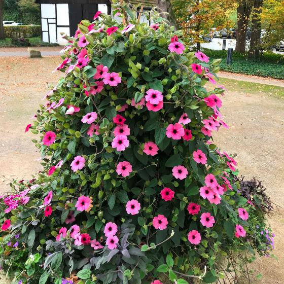 Pinke Schwarzäugige Susanne, im ca. 10,5 cm-Topf | #2