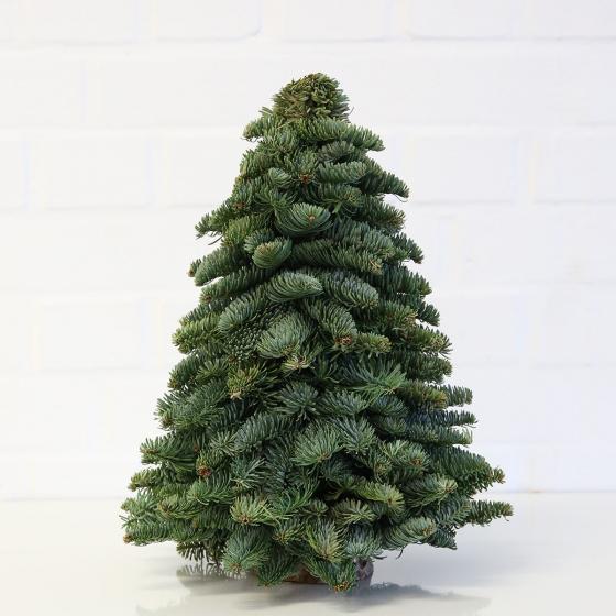 Nobilis- Weihnachtsbäumchen, mittel | #2