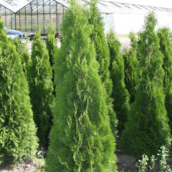 Gärtner Pötschkes Premium Lebensbaum Smaragd, 160-180cm | #2