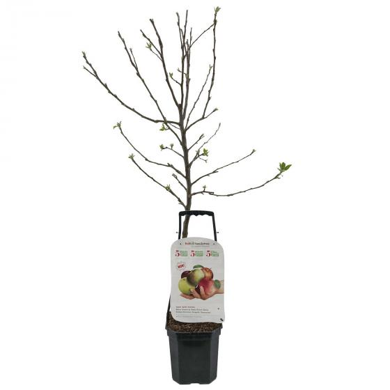 Premium Familien-Apfelbaum, im ca. 27 cm-Topf | #2