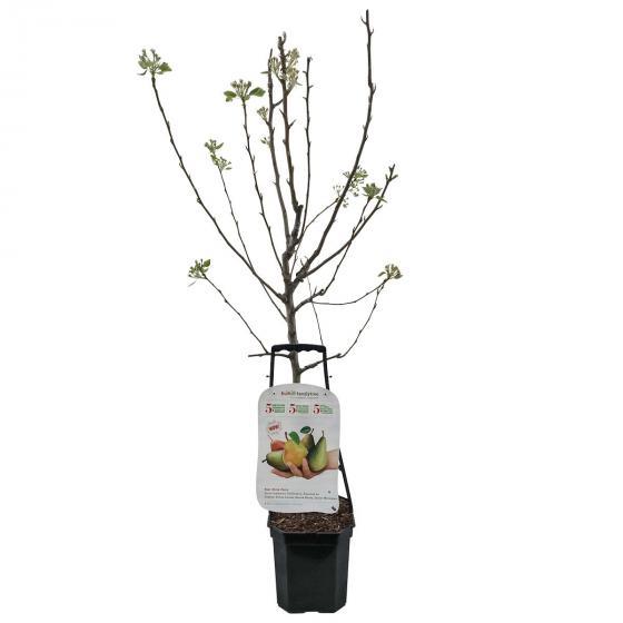 Premium Birnen-Familienbaum, im ca. 27 cm-Topf | #2