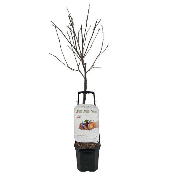 Premium Pflaumen-Familienbaum | #2