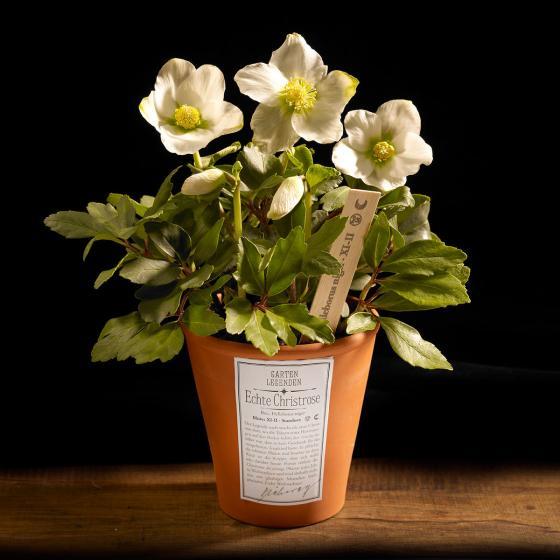 Christrose Gartenlegende, im ca. 12 cm-Topf | #2