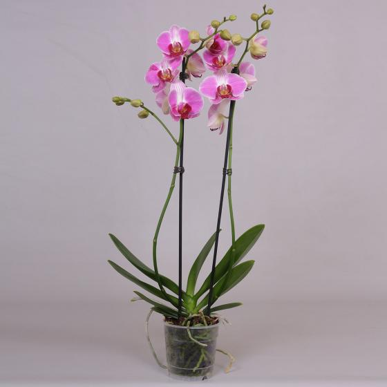 Schmetterlings-Orchidee Daytrip, im ca. 12 cm-Topf | #2