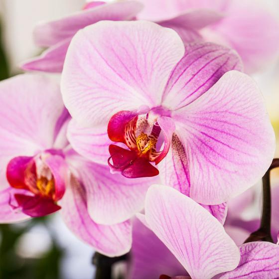 Rosa Schmetterlings-Orchidee, im ca. 12 cm-Topf   #2