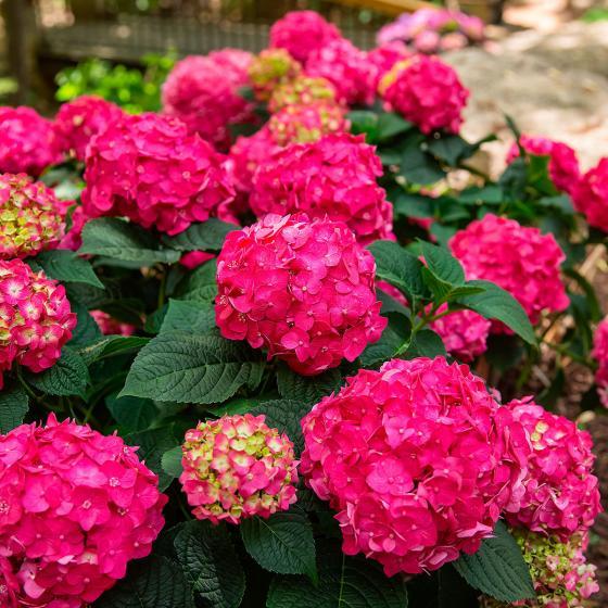 Hortensie Endless Summer® Summer Love®, im ca. 23 cm-Topf | #2