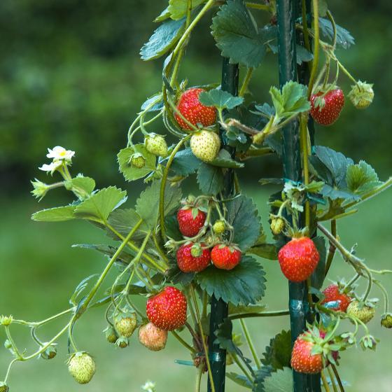Erdbeerpflanze Klettererdbeere KletterToni | #2