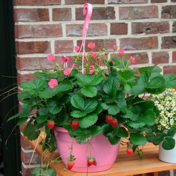 Erdbeer-Ampel Fridulin XL-Qualität | #2