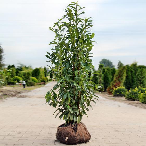 Gärtner Pötschkes Premium  Kirschlorbeer Genolia 120-140cm | #2