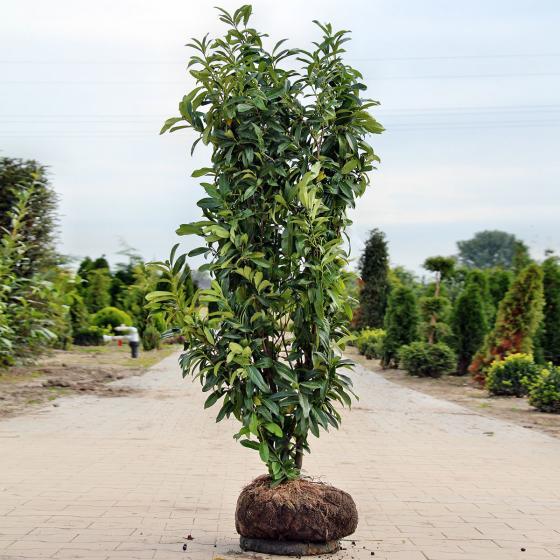 Premium Kirschlorbeer Genolia, Höhe ca. 140-160 cm | #2