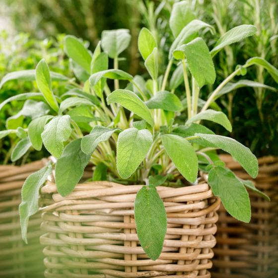 Zimmerpflanze Salbei   #2