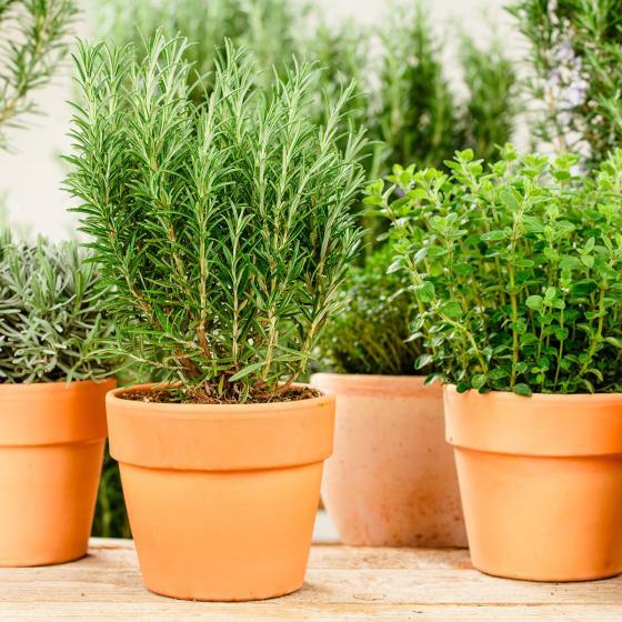 Zimmerpflanze Eataliano Rosmarin | #2