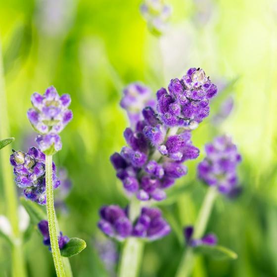 Eataliano Lavendel-Stämmchen, 14 cm-Topf | #2