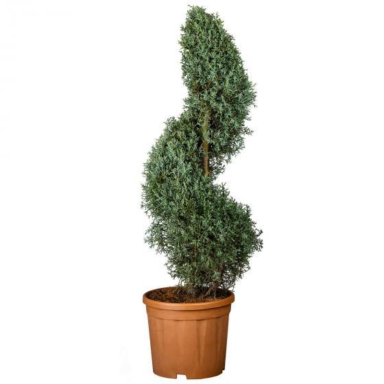 Arizona Zypresse, im ca. 28 cm-Topf | #2