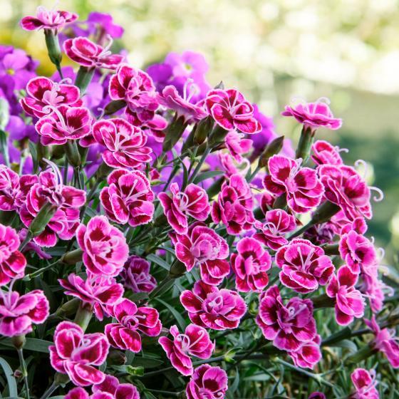 Garten-Nelke Purple Wedding | #2