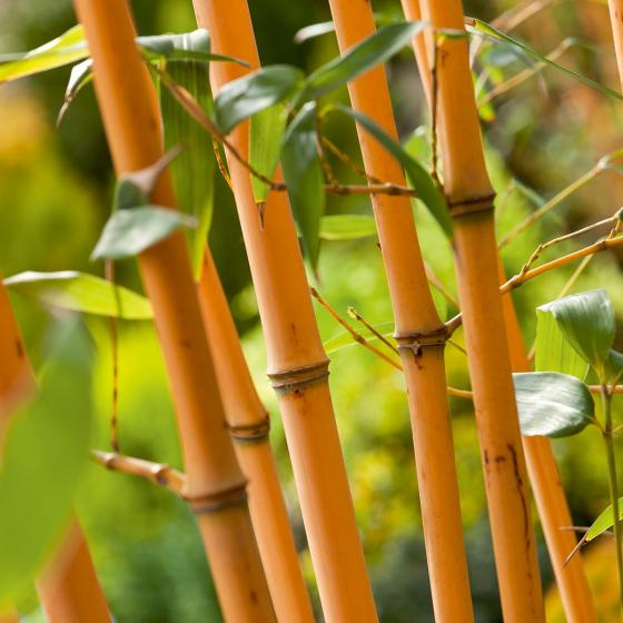 Bambus Aureocaulis, im 10-Liter-Topf | #2