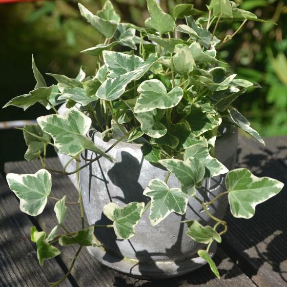 Weißgrüner Efeu, im ca. 9 cm-Topf | #2