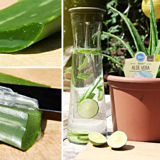 "BIO Kräuterpflanze ""Sweet"" Aloe Vera, im ca. 12 cm-Topf | #2"