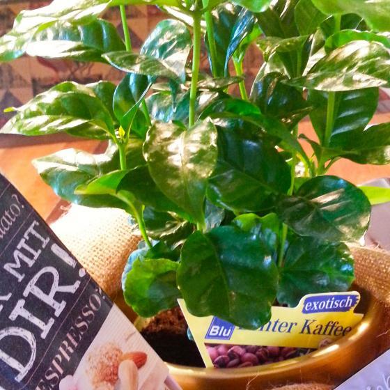 Blu Bio Echte Kaffeepflanze | #2