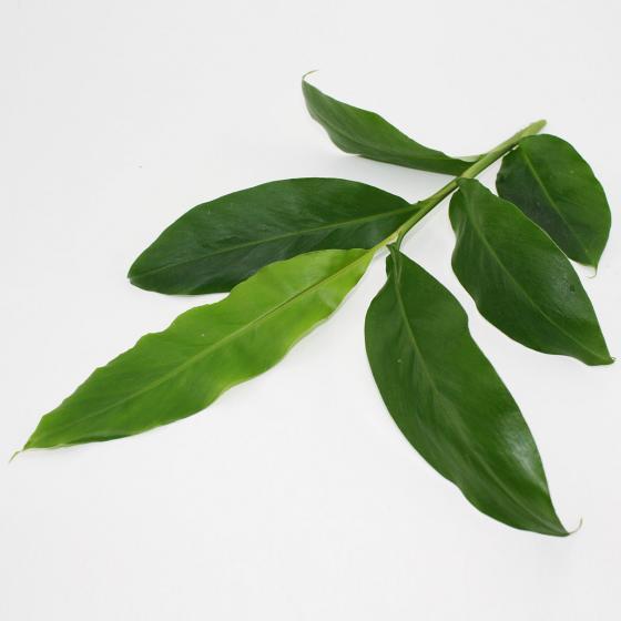 BIO Kräuterpflanze Zimt-Aroma-Pflanze, im ca. 12 cm-Topf | #2