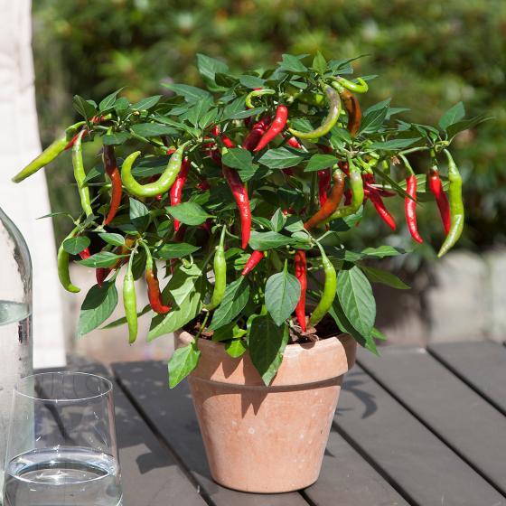 Blu Bio-Gemüsepflanze Chili Flambiños | #2