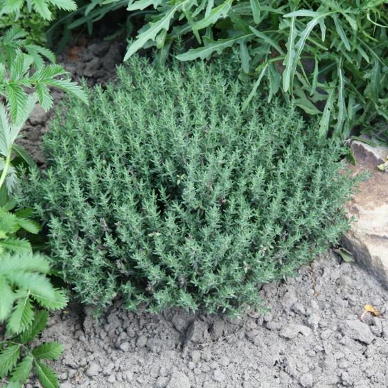 BIO Kräuterpflanze Gewürz-Thymian, im ca. 12 cm-Topf | #2