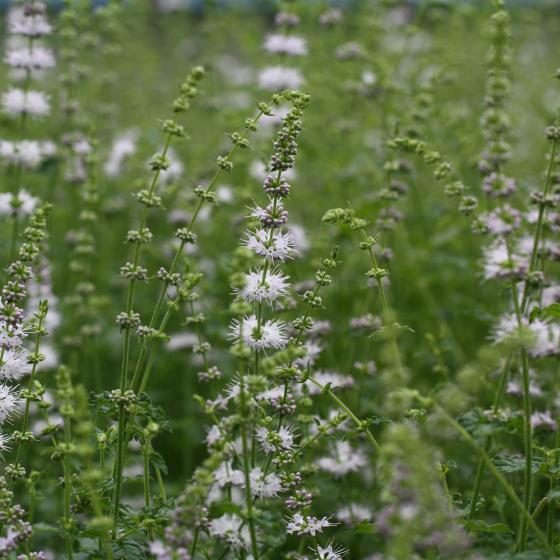Blu Bio-Kräuterpflanze Erdbeerminze | #2
