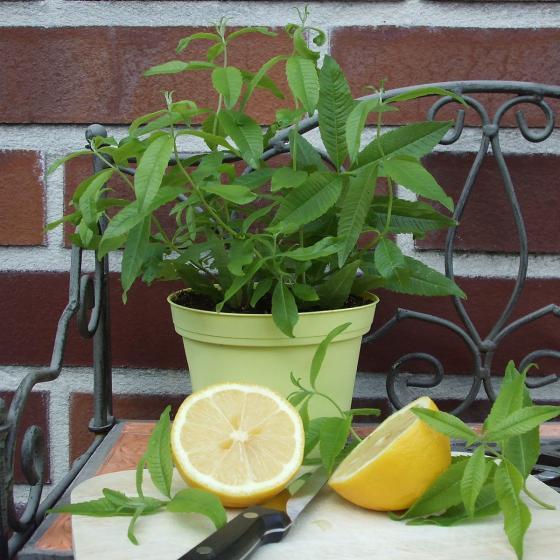 Blu Bio-Kräuterpflanze Zitronenverbene | #2