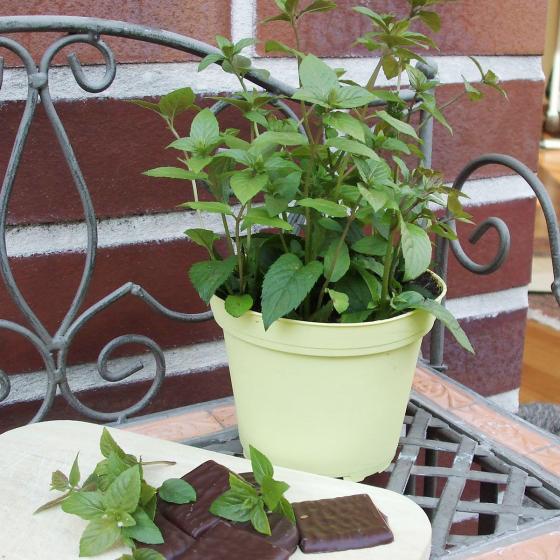 BIO Kräuterpflanze Schoko-Minze, im ca. 12 cm-Topf | #2