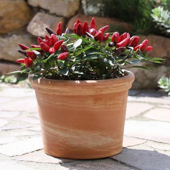 Blu Bio-Gemüsepflanze Chili Feuerküsschen | #2