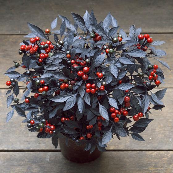 BIO Gemüsepflanze Kleine Perlen Chili, im ca. 12 cm-Topf | #2