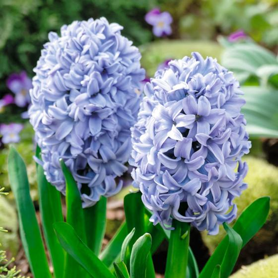 Blaue Hyazinthen im Zinkeimer | #2