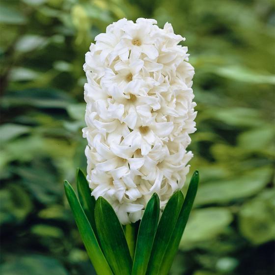 Weiße Hyazinthen im Zinkeimer | #2