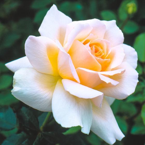 Edelrose Chandos Beauty, im ca. 17 cm-Einpflanz-Topf | #2