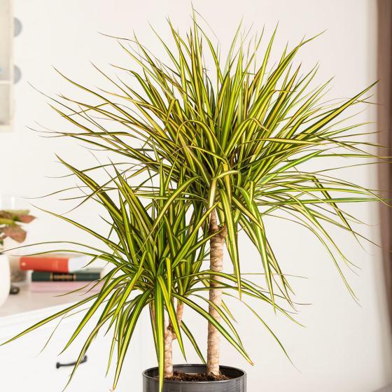Drachenbaum Sunray, 2er Tuff, im ca. 17 cm-Topf | #2