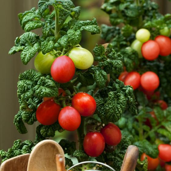 Tomatensamen Patio Plum   #2