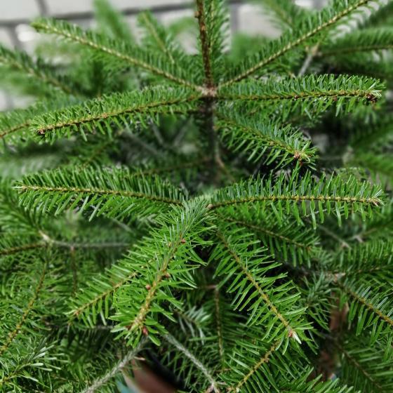 Echte Nordmanntanne, Baumschulqualität im Topf gewachsen, 30-50 cm | #2
