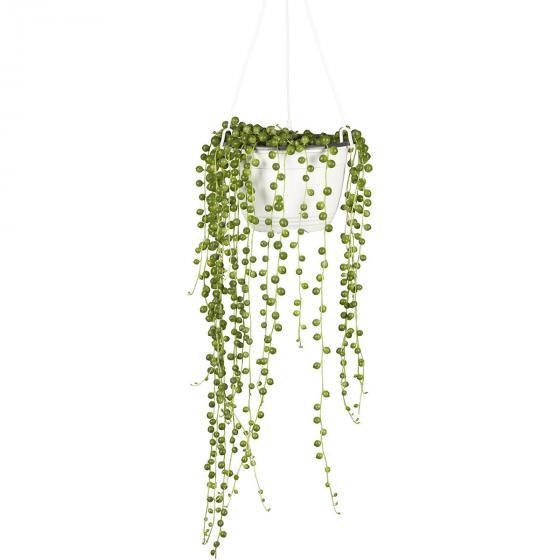 Erbsenpflanze, Ampel, im ca. 12 cm-Topf | #2