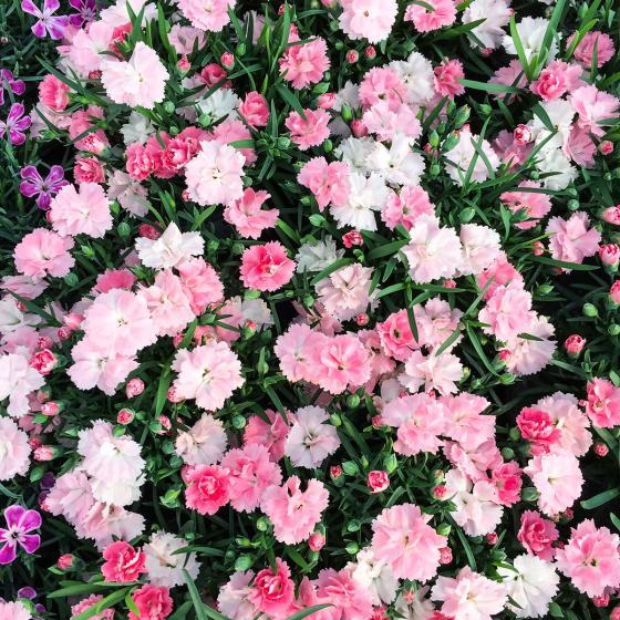 Federnelke, rosa-weiß, im ca. 9 cm-Topf | #2
