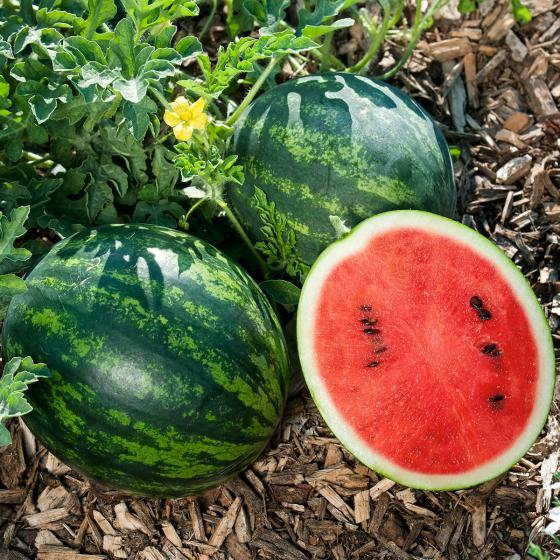 Mini-Wassermelonenpflanze Mini Love, veredelt, im ca. 12 cm-Topf | #2