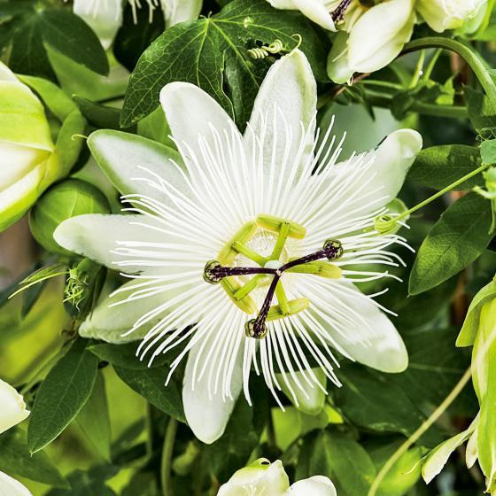 Weiße Passionsblume, im ca. 9 cm-Topf | #2